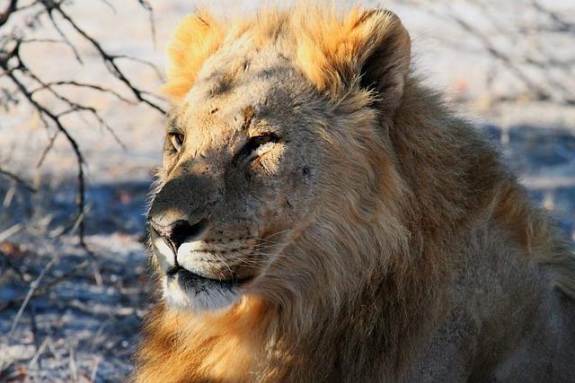Lion, Etosha, Namibia, Africa, Safari