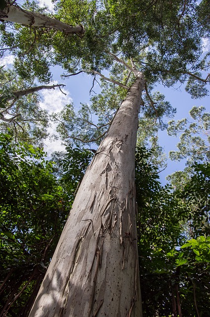 Gum Tree, Eucalyptus, Grandis, Tree, Trunk, Forest