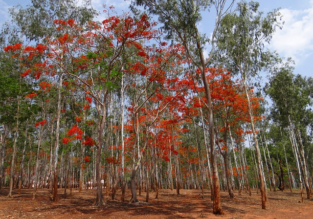 Eucalyptus Trees, Forest, Blooming, Delonix Regia