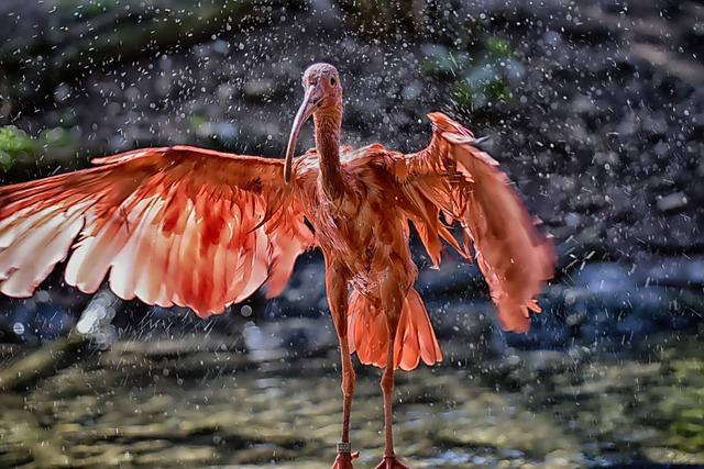 Ibis, Eudocimus Ruber, Water, Spray, Scarlet Ibis