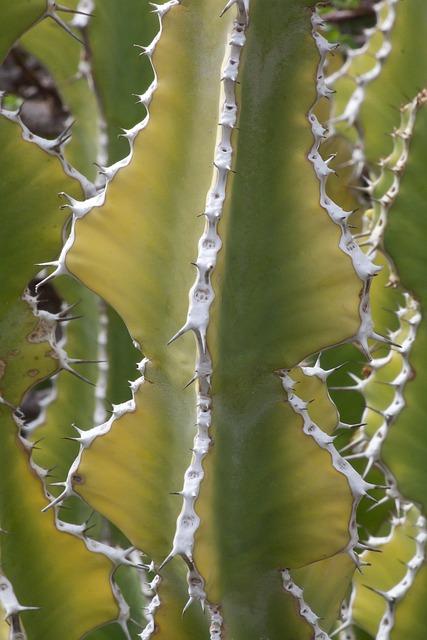 Euphorbia Venenata, Cactus, Succulent, Thorns, Plant