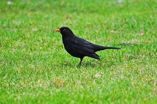 Blackbird, Common Blackbird, Eurasian Blackbird, Animal