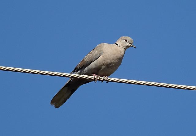 Bird, Dove, Eurasian Collared Dove