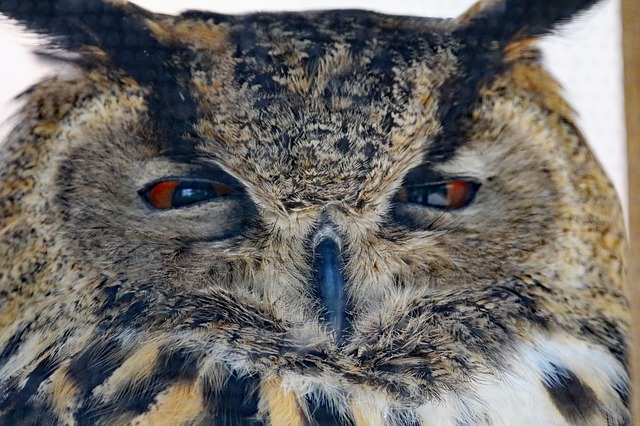 Eurasian Eagle Owl, Owl, Bird, Wildlife, Prey, Eurasian