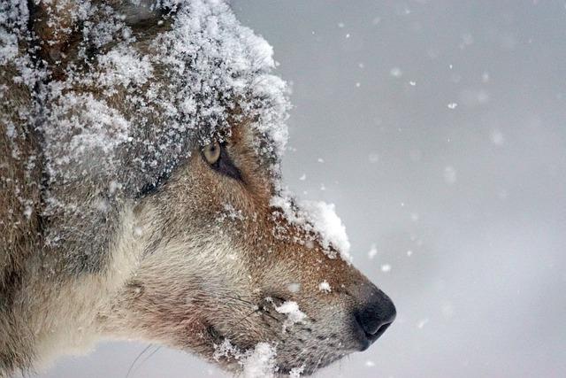 Wolf, Predator, Eurasian Wolf, Pack Animal, Wolf Head