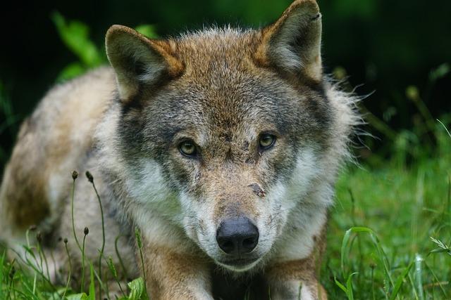 Wolf, Predator, Eurasian Wolf, Pack Animal, Portrait
