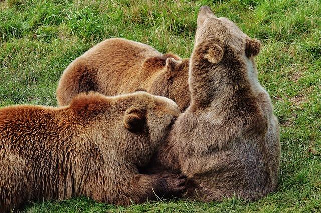 European Brown Bear, Suckle, Young Animals, Dam