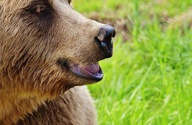 European Brown Bear, Wild Animal, Bear, Dangerous