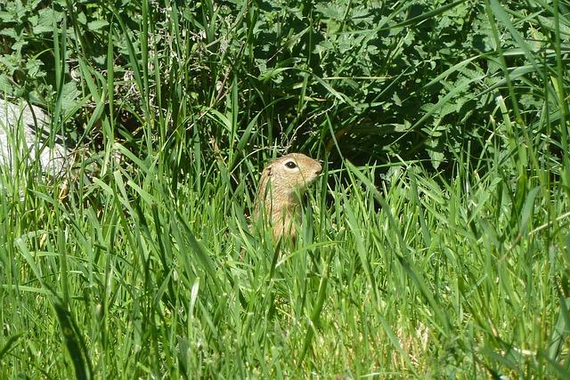 Ground Squirrel, European Ground Squirrel