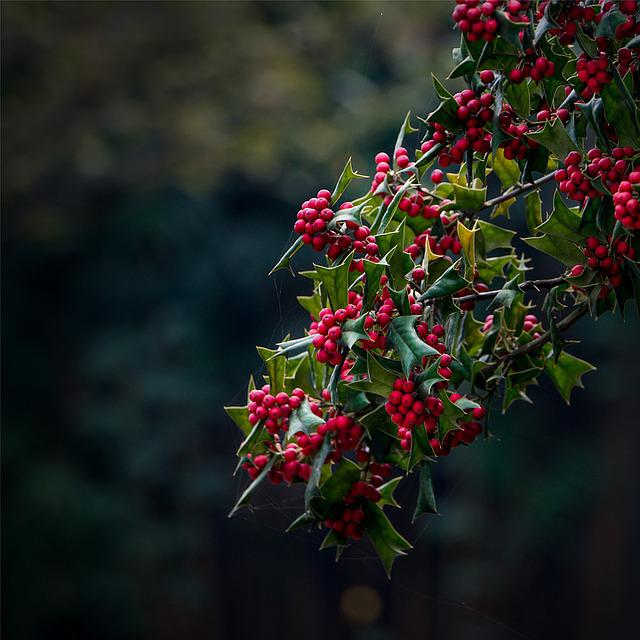 European Holly, Christmas Holly, Plant