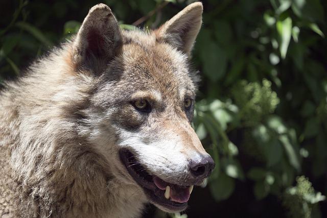 European Wolf, Alpha Male, Intelligent, Focused