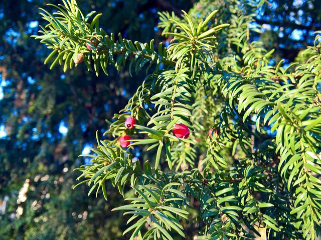 European Yew, Needles, Flowers, Christmas