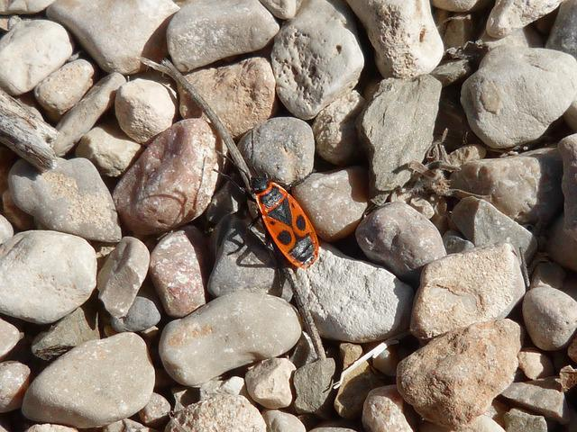 Eurydema Ornatum, Red Bug, Beetle Insect, Stones