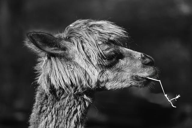 Alpaca, Animal, Mammal, Ruminant, Even-toed, Wool, Fur