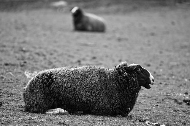 Sheep, Animal, Mammal, Ruminant, Even-toed, Livestock