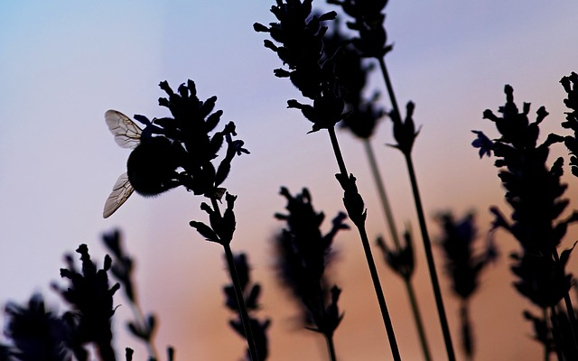 Insect, Silhuette, Bee, Lavender, Evening, Violet