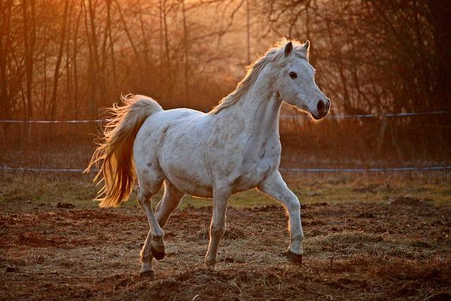 Horse, Evening Light, Mold, Thoroughbred Arabian