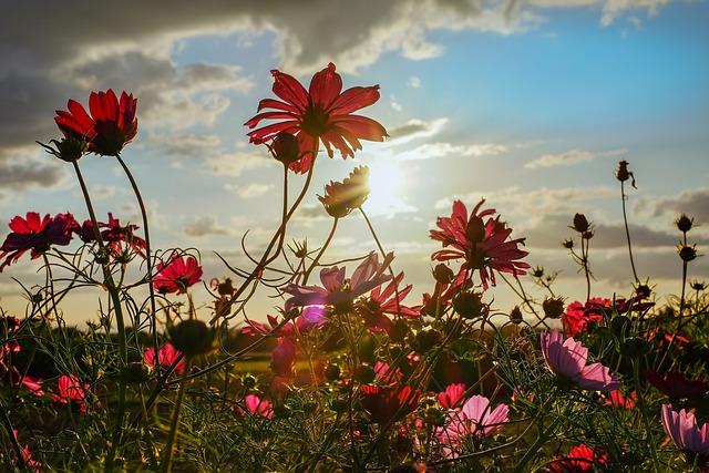 Cosmea, Flowers, Bloom, Evening Sun, Backlighting