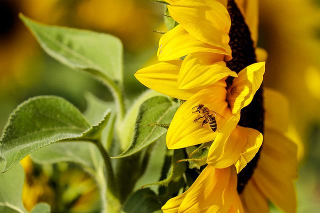 Sun Flower, Flower, Flowers, Evening Sun, Autumn