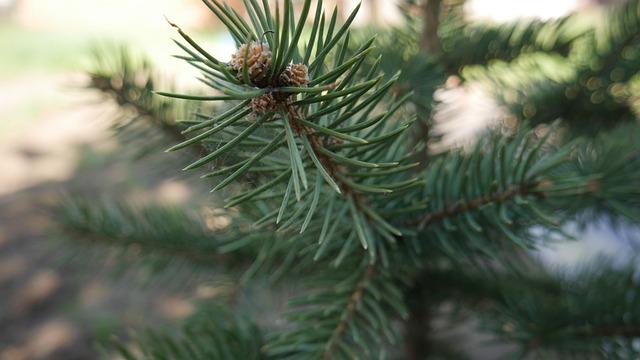 Spruce, Tree, Fir, Evergreen, Branch, Needle, Plant