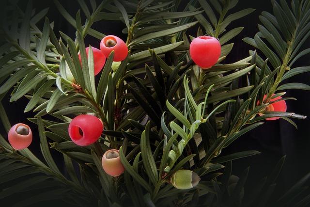 Yew, Taxus, Plant, Bush, Evergreen, Taxaceae, Conifer