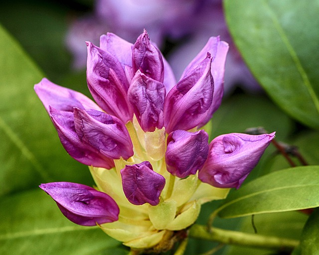 Rhododendron, Purple, Buds, Flowers, Shurb, Evergreen