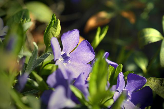 Evergreen, Small-leaf Evergreen, Small Periwinkle