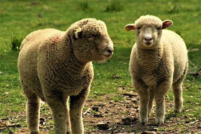 Sheep, Ewe, Lamb, Farm