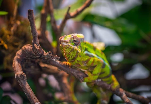Chameleon, Exotarium, Reptile