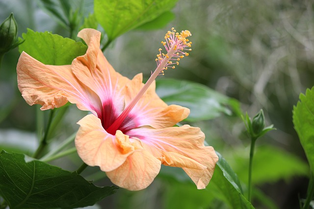 Hibiscus, Exotic, Tropical, Blossom, Bloom