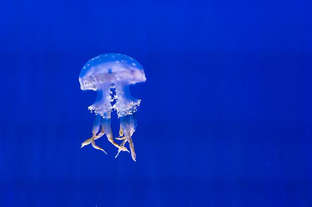 Aquarium, Blue, Exotic, Jellyfish, Marine Life, Spotted