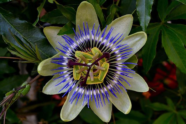 Passionflower, Color, Exotic Bush, Flower, Bloom