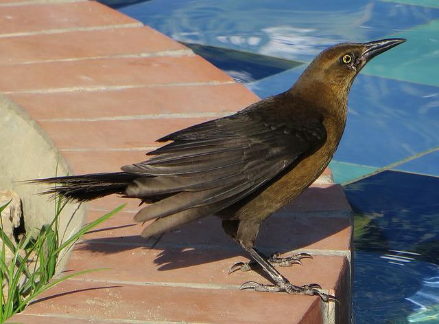 Bird, Female Cowbird, Black, Blue, Exotic, Panama