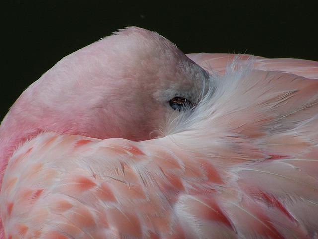 Flamingo, Bird, Pink, White, Exotic, Wildlife, Feather