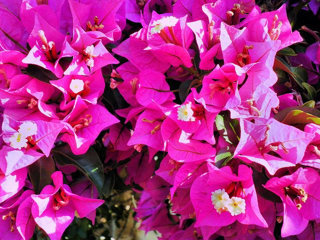 Bougainvillea, Pink, Exotic Flower