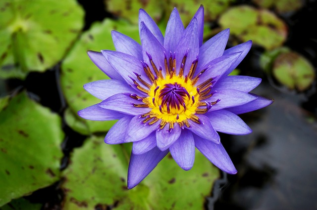 Flower, Water Lily, Plant, Nature, Exotic