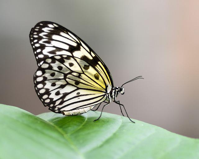 Butterfly, Exotic, Great Glider, Idea Leuconoe