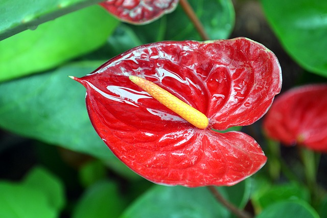 Anthurium, Foliage, Plants, Exotic Plant, Nature