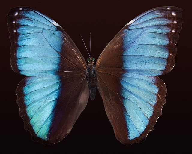 Butterfly, Exotic, South America, Amazon, Iridescent