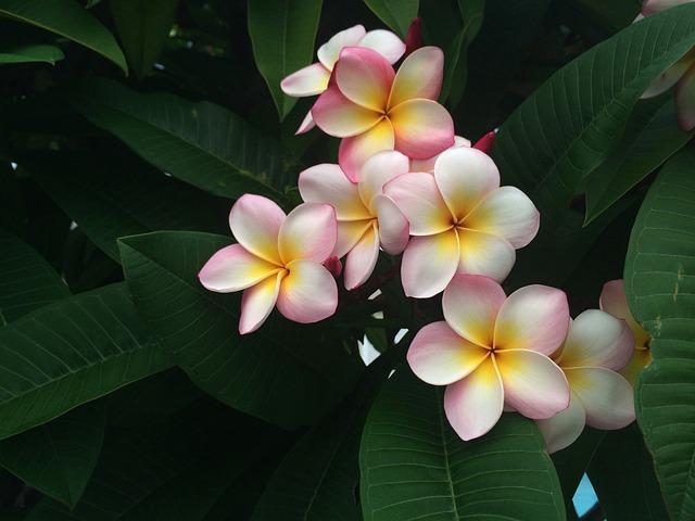 Frangipani, Holiday, Hawaii, Exotic, Tropical, Plant