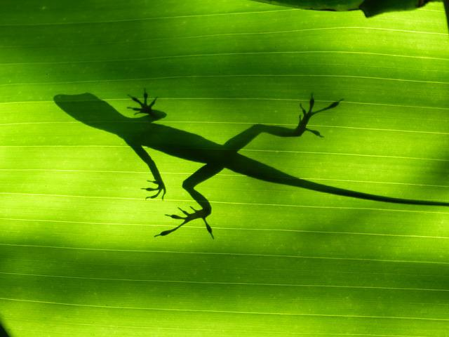Lizard, Green, Martinique, Banana, West Indies, Exotic