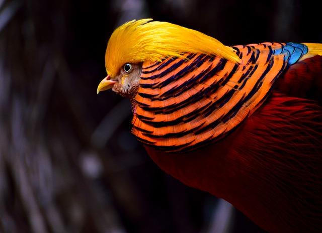 Golden Pheasant, Pheasant, Bird, Yellow-red, Exotic