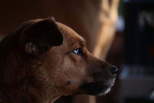 Dog, Hybrid, Eyes, Pet, Expectant, Snout, Husky Mongrel