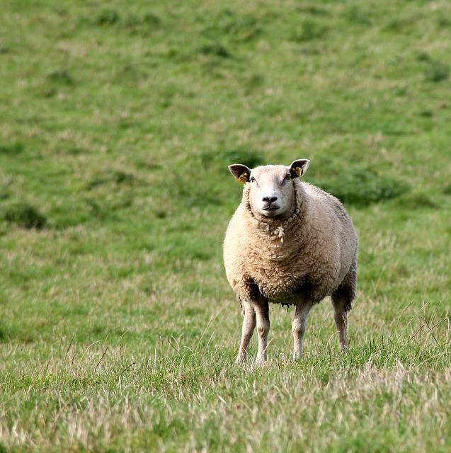 Sheep, Mark, Expensive, Mammals, Livestock, Farmhouse