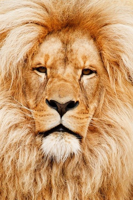 Africa, African, Animal, Cat, Close-up, Detail, Eye