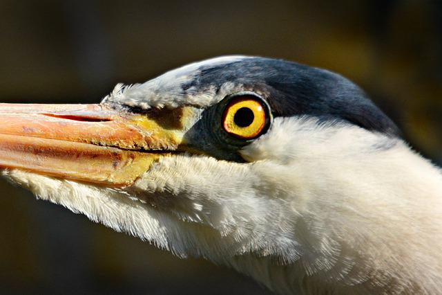 Heron, Wading Bird, Animal, Head, Beak, Eye, Feather