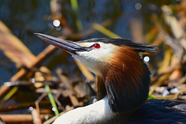 Great Crested Grebe, Water Bird, Animal, Beak, Eye