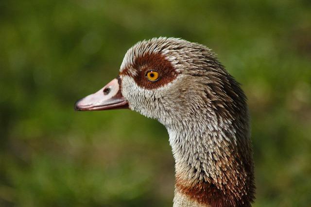 Goose, Bird, Head, Bill, Eye, Poultry, Plumage, Animal