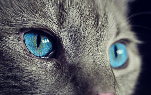 Cat, Animal, Cat's Eyes, Eyes, Pet, View, Blue Eye