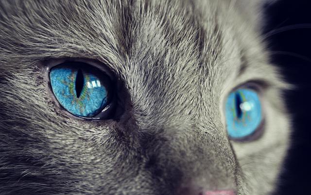 Cat, Animal, Cat's Eyes, Eyes, Pet, View, Blue Eye